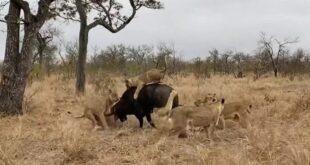 Clip: Đàn sư tử đói tấn công con trâu và cái kết bất ngờ